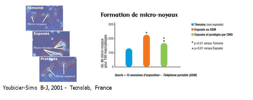 Formation de micronuclei